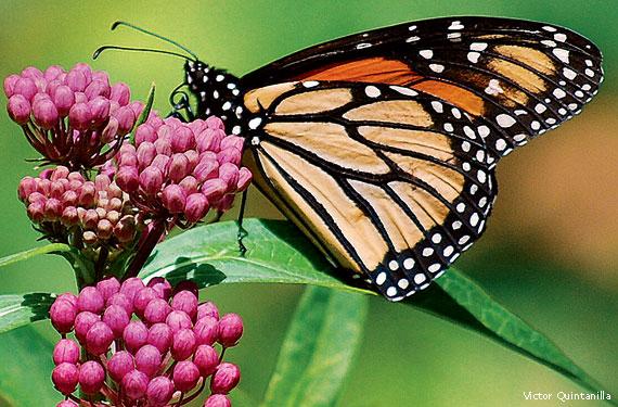Coevolution: Milkweed and Monarchs